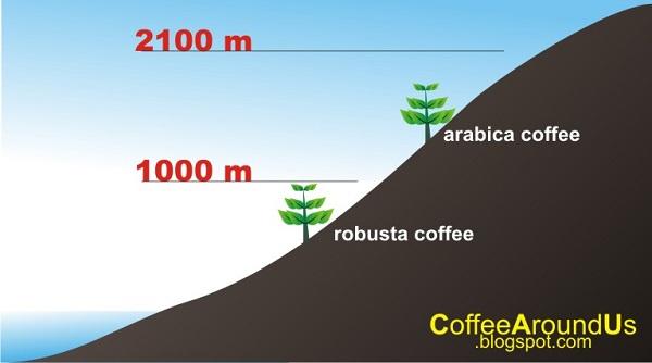 140901-dat-trong-arabica-puriocoffee
