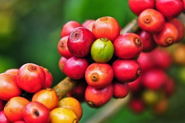 141102-ca-phe-moka-hoang-hau-trong-vuong-quoc-ca-phe-puriocoffee